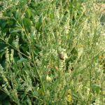 Bild: Weißer Steinklee Blüte weiß Melilotus albus