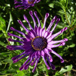 Steinsame Bluete lila Osteosperum 01