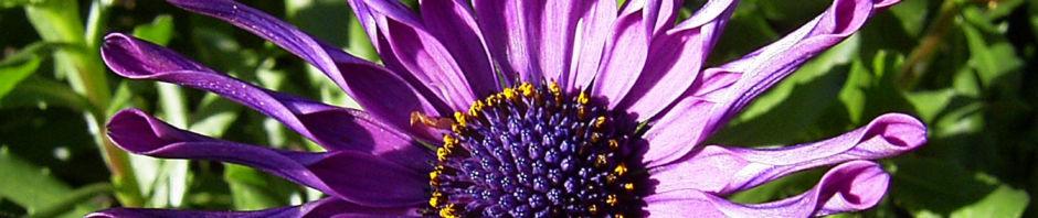 Anklicken um das ganze Bild zu sehen Steinsame Blüte lila - Osteosperum