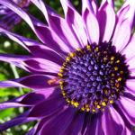 Steinsame Bluete lila Osteosperum 02