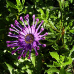Steinsame Bluete lila Osteosperum 03