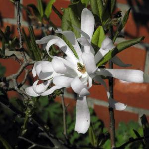 Stern Magnolie Bluete weiß Magnolia stellata 01