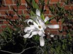 Stern Magnolie Bluete weiß Magnolia stellata 04