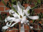 Stern Magnolie Bluete weiß Magnolia stellata 08