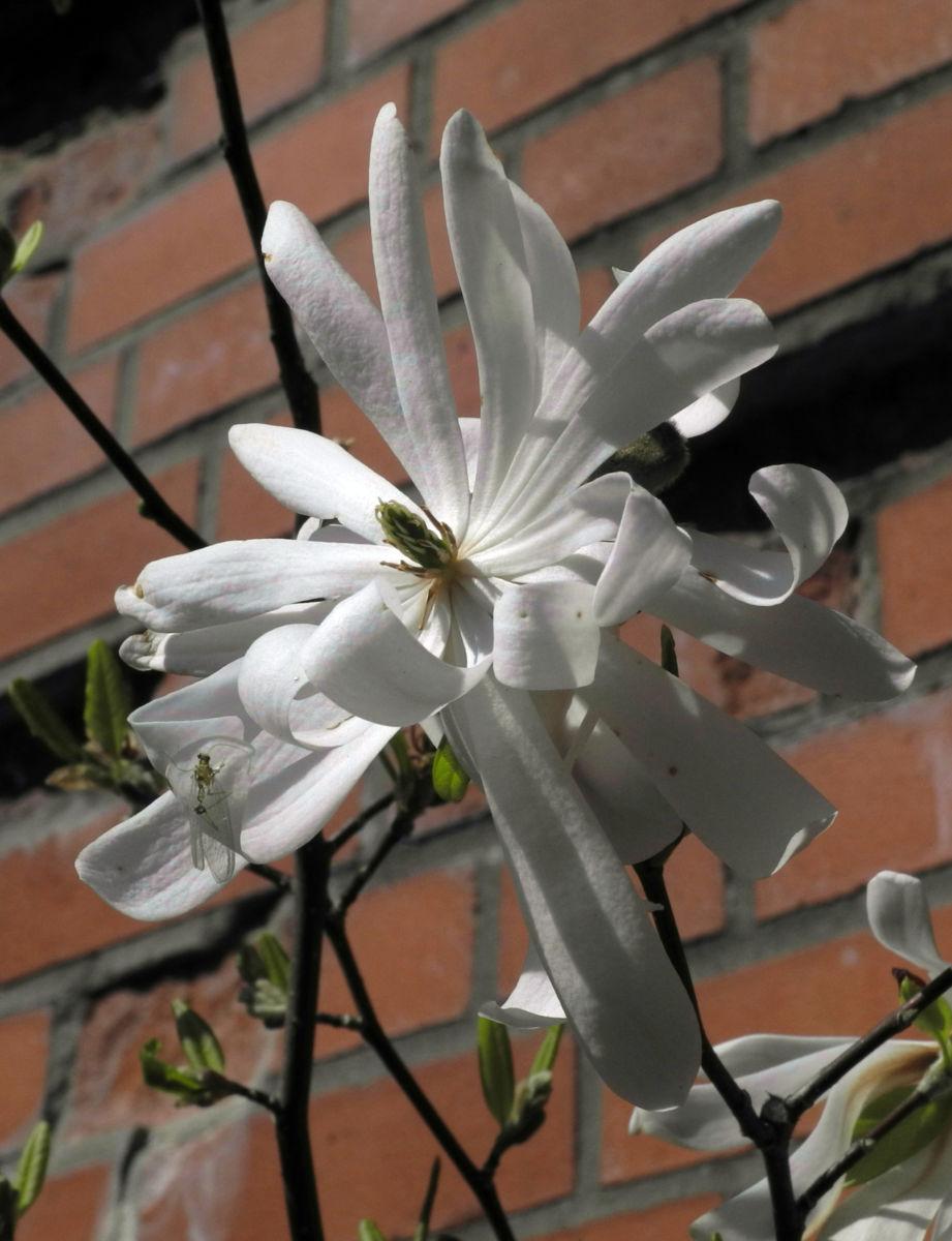 Stern Magnolie Bluete weiß Magnolia stellata