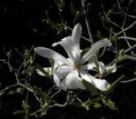 Stern Magnolie Bluete weiß Magnolia stellata 11