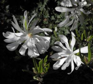 Stern Magnolie Bluete weiß Magnolia stellata 12