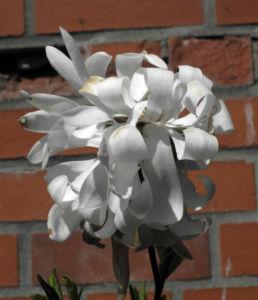 Stern Magnolie Bluete weiß Magnolia stellata 13