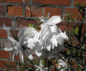Stern Magnolie Bluete weiß Magnolia stellata 14
