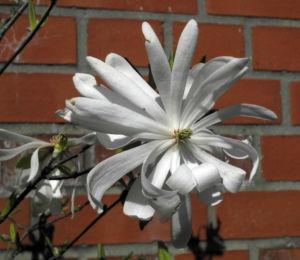 Stern Magnolie Bluete weiß Magnolia stellata 15
