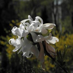Bild: Stern Magnolie Bluete weiß Magnolia stellata
