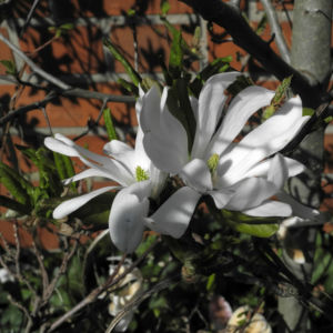 Stern Magnolie Bluete weiß Magnolia stellata 22
