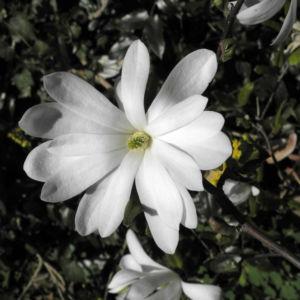 Stern Magnolie Bluete weiß Magnolia stellata 23