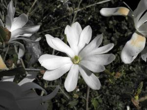 Stern Magnolie Bluete weiß Magnolia stellata 26