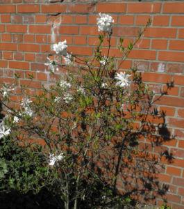 Stern Magnolie Strauch Magnolia stellata 01