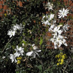 Stern Magnolie Strauch Magnolia stellata 02
