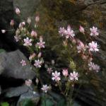 Stern Steinbrech Bluete weiss pink Saxifraga stellaris 09