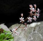 Bild: Stern-Steinbrech Blüte weiß pink Saxifraga stellaris