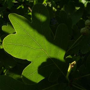 Stiel Eiche Blatt Quercus robur 01