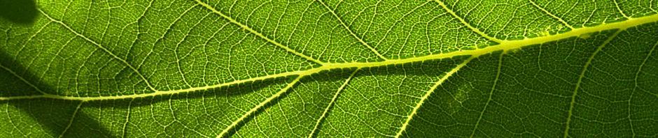 Anklicken um das ganze Bild zu sehen Stieleiche Blatt grün Quercus robur