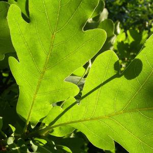 Stiel Eiche Blatt Quercus robur 03