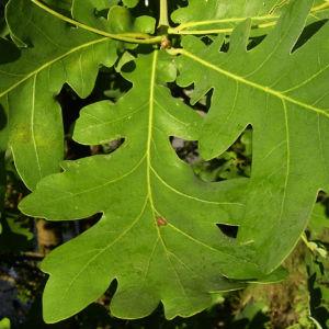 Stiel Eiche Blatt Quercus robur 04