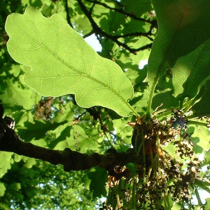 Stiel Eiche Bluete Quercus robur