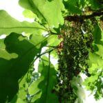 Stiel Eiche Bluete Quercus robur 04
