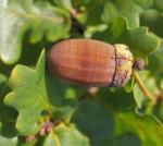 Stiel Eiche Eichel braun Blatt gruen Quercus robur 12
