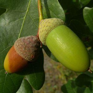 Stiel Eiche Eicheln Quercus robur 01