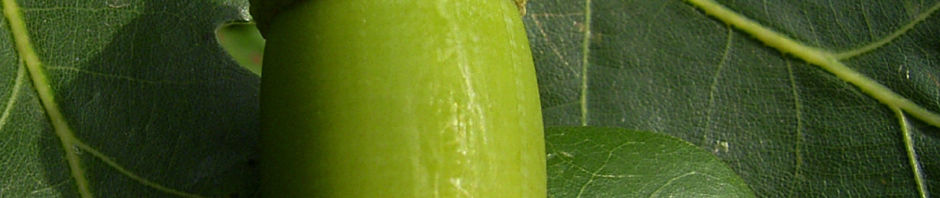 stieleiche-eicheln-gruen-quercus-robur