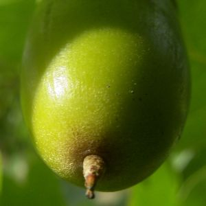 Stiel Eiche Eicheln Quercus robur 06