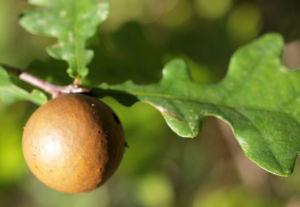 Bild: Stiel Eiche Gallapfel braun Quercus robur