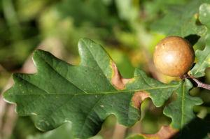 Stiel Eiche Gallapfel braun Quercus robur 03