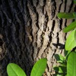 Bild: Stieleiche Baum Rinde Grau Quercus robur
