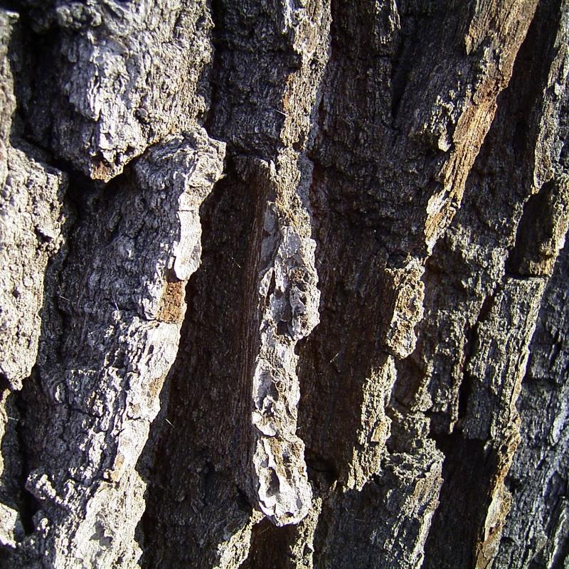 Stiel Eiche Rinde Quercus robur