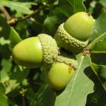 Stieleiche Baum Blatt gruen Eichel Quercus Robur 01