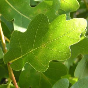 Stieleiche Baum Blatt gruen Eichel Quercus Robur 02