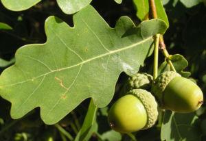Stieleiche Baum Blatt gruen Eichel Quercus Robur 06