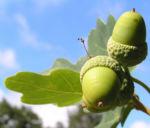 Stieleiche Baum Blatt gruen Eichel Quercus Robur 07
