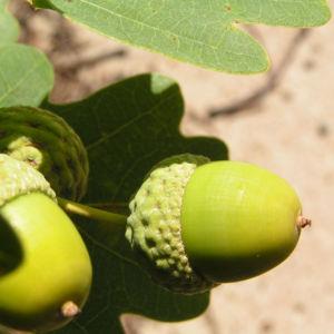 Stieleiche Baum Blatt gruen Eichel Quercus Robur 12