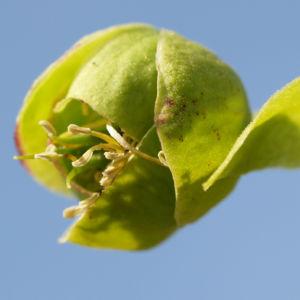 Stinkende Nieswurz Bluete gruenlich Helleborus foetidus 01