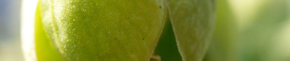 stinkende-nieswurz-bluete-gruenlich-helleborus-foetidus