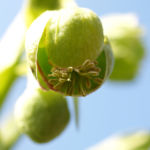 Stinkende Nieswurz Bluete gruenlich Helleborus foetidus 03