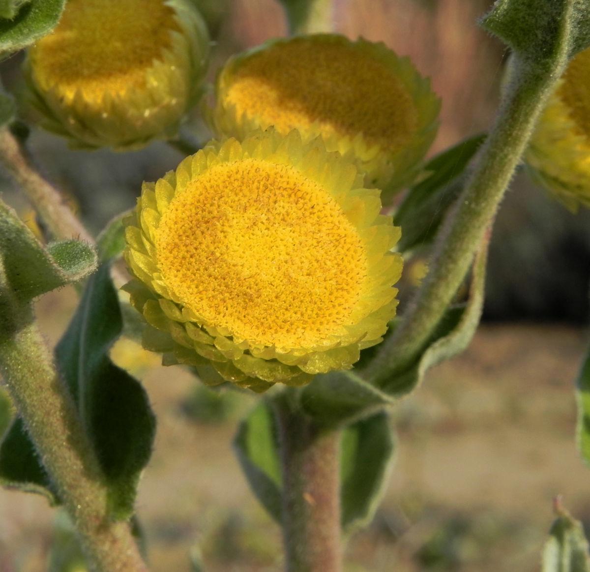 Stinkende Strohblume Bluete gelb Helichrysum foetidum