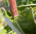 Stinkende Strohblume Bluete gelb Helichrysum foetidum 07