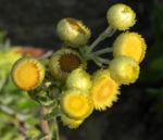 Bild: Stinkende Strohblume Blüte gelb Helichrysum foetium