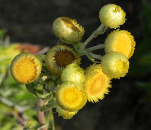 Bild: Stinkende Strohblume Bluete gelb Helichrysum foetidum