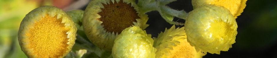 stinkende-strohblume-bluete-gelb-helichrysum-foetium