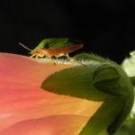 Stockrose Blatt gruen Gruene Stinkwanze Palomena prasina Alcea rosea 01